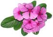 pervenche madagascar, Catharanthus roseus