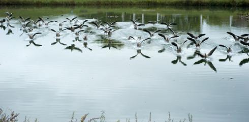 Flugenten, muscovy ducks