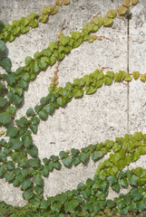 Climbing Vines of Ivy