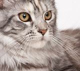 Maine-coon close-up portrait poster