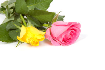 pink and yellow rose with copy-space