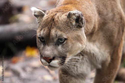 Aluminium Puma Stalking Cougar
