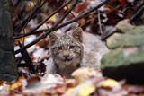 Baby Canada Lynx