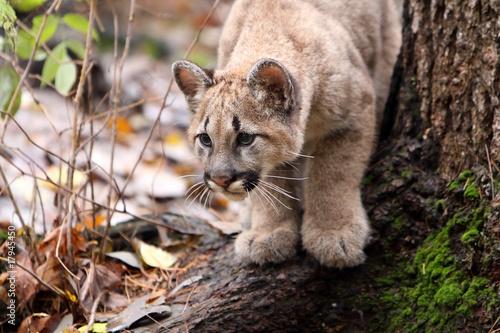 Poster Puma Cougar Cub