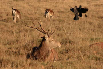 Red Deer with squabbling Jackdaws