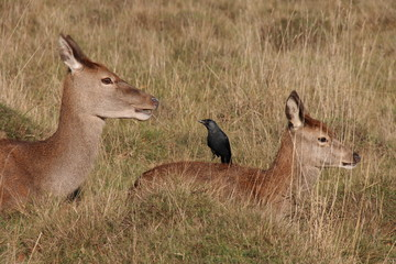 Red Deer with Jackdaw