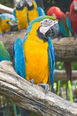 Blue and yellow macaw, or Ara