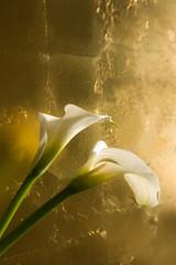 Blumen, Calla ( Zantedeschien ) vor Blattgold