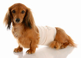 veterinary care - dachshund with medical bandage poster
