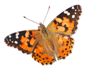 Vanessa buterfly isolated on white