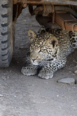 A Leopard (Panthera pardus) crouches underneath a car.