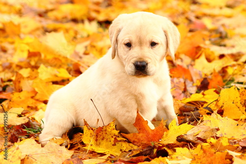 Yellow Labrador Retriever Sitting in Autumn Leaves