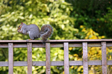 Grey Squirrel sitting on a garden fence eating a nut