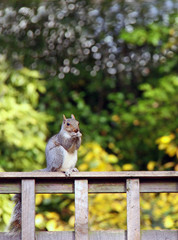 Grey Squirrel on a fence with nut