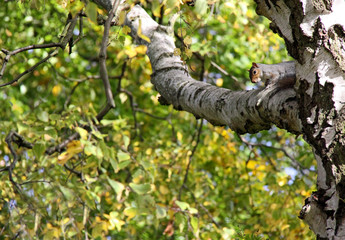 Grey Squirrel climbing in an autumn tree