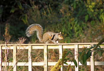 Grey Squirrel scratching on a garden fence