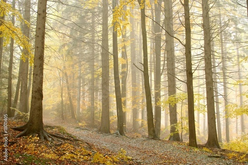Fototapeta Late autumn path leading through the forest in dense fog