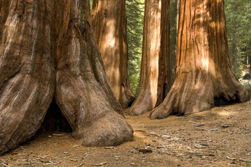 Redwood Trees in Mariposa Grove, Yosemite