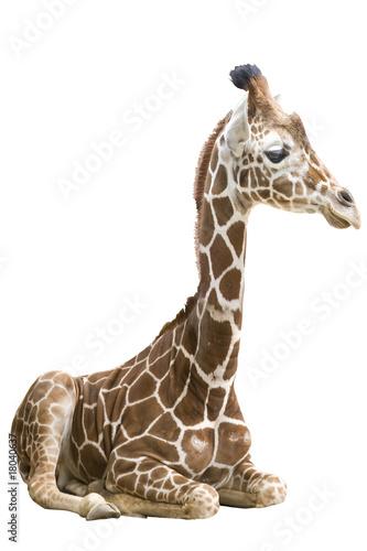 Canvas Giraffe Giraffe wd261