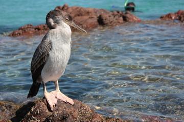 cormorano in relax