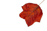 red leaf in autumn fall