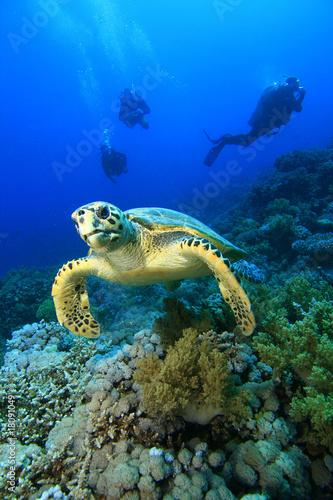 Leinwanddruck Bild Hawksbill Turtle and Scuba DIvers