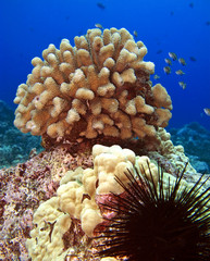 Urchin and Coral Head on a Reef in Hawaii with Fish