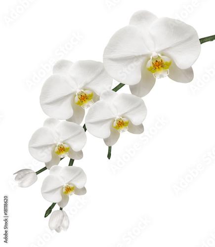 Fototapeten,orchidee,blume,schönheit,weiß