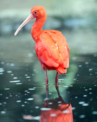 scarlet ibis standing in water showing reflection
