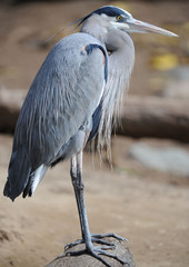 great blue heron sitting on tree