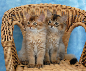 somali kittens sitting on a wicker chair