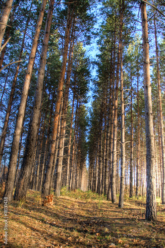 tall pines in autumn forest