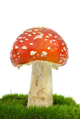 Fly agaric (Amanita Muscaria) growning on the moss