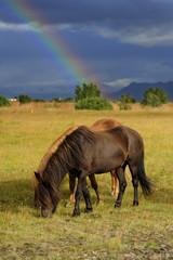 Islandpferde mit Regenbogen