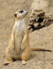 Female Meerkat by Cave