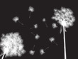 Dandelions in the night