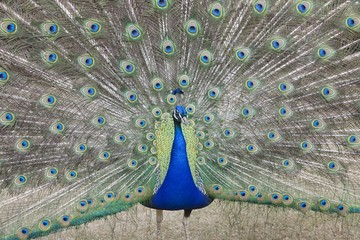 Indian Peafowl, Pavo cristatus Asiaticwith tail feathers displayed in courtship ritual