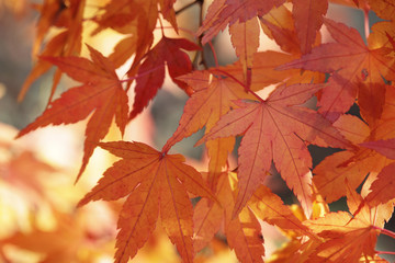 Japanese Maple Leaves in Autumn 02
