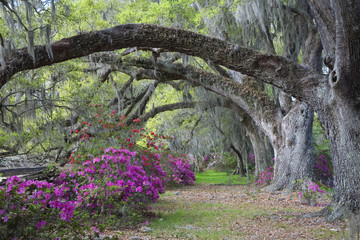 Live Oaks and colorful azaleas in Charleston South Carolina.