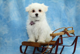 Maltese Puppy Sitting on A Toy Sled poster