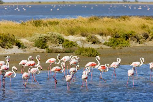 Foto op Plexiglas Flamingo flamingos, Parc Regional de Camargue, Provence, France