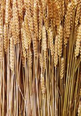 corn, grain