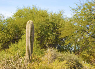 Saguaro Cactus Stands Alone
