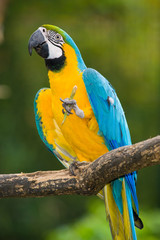Blue-and-yellow Macaw in deep vegetation - Ara ararauna...