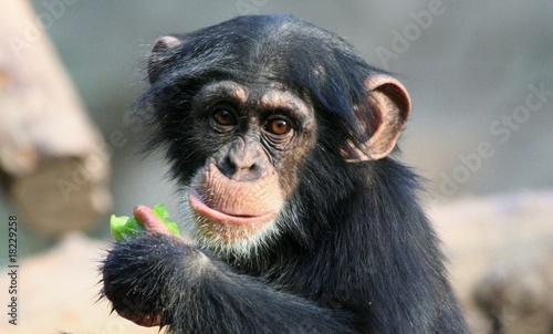 Foto op Canvas Aap Schimpansenjunges