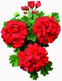 geranium lierre double rouge