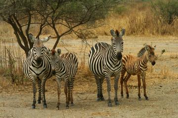 Famiglia di zebre