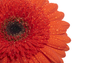 Red daisy-gerbera isolated on white background.