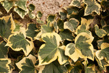 Variegated ivy against a wall