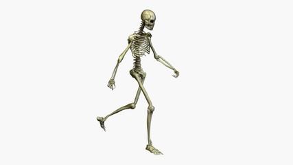 Anatomie - Skelett - gehen